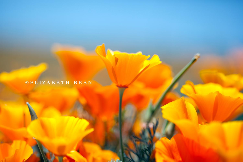 042014 poppy fields 46