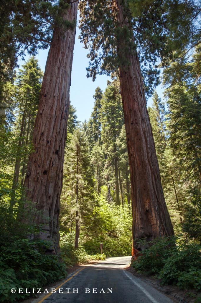 070114 Sequoia 08