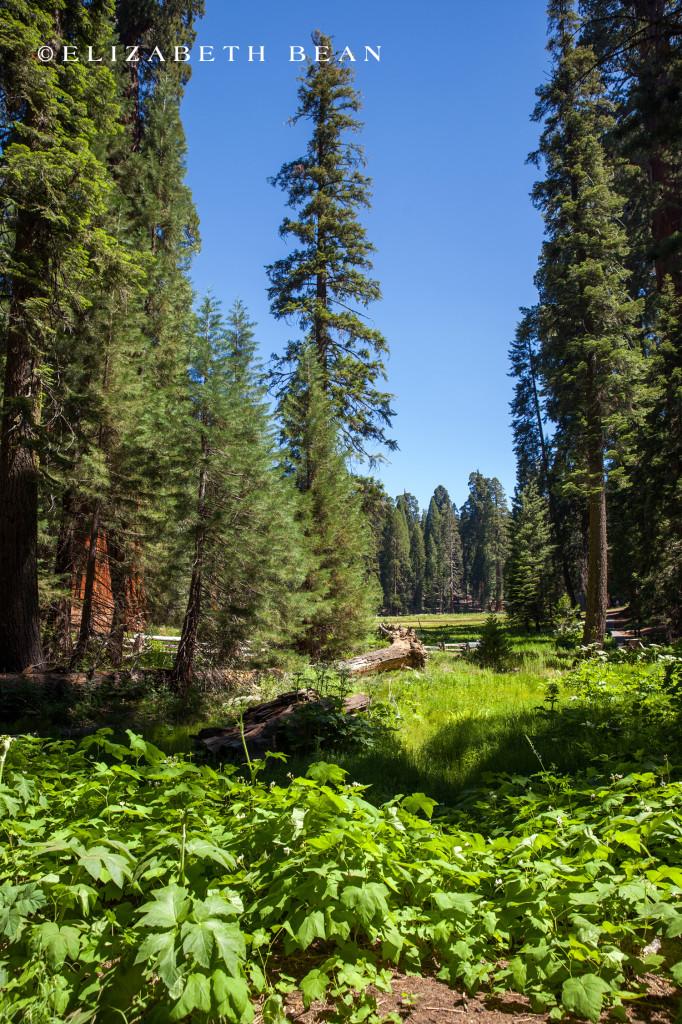 070314 Sequoia 10