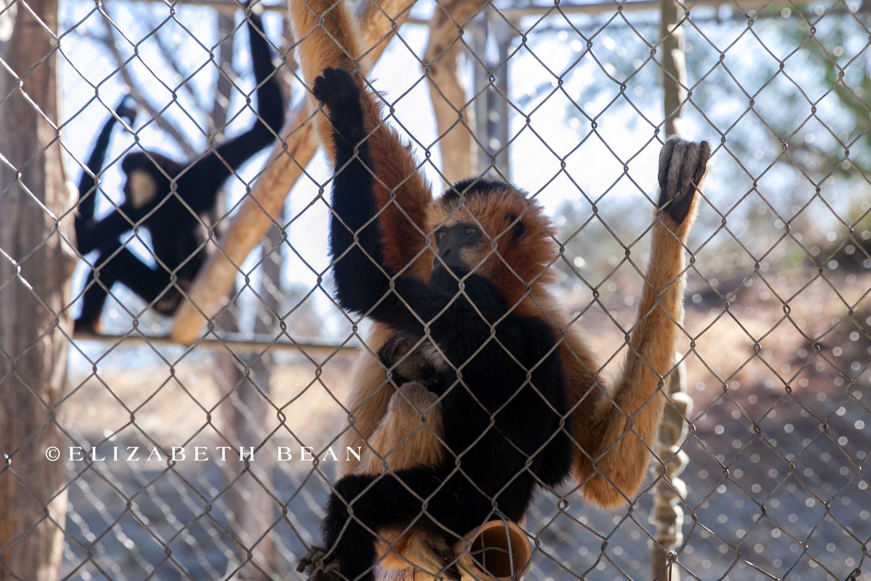 071215 Gibbon Center 08